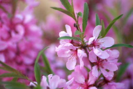 Sakura cherry blossoms close up, flower branches in pink color full bloom during spring season.