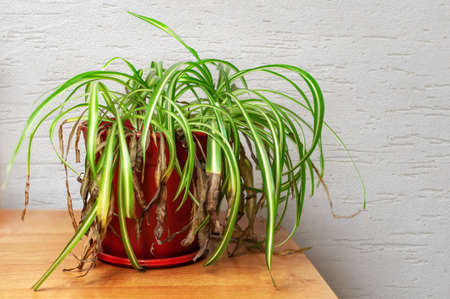 Shriveled plant, Chlorophytum with withered yellowed leaf tips in a plastic pot. Dying spider plant indoors.
