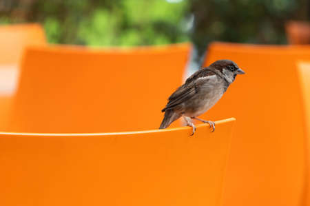 Little house sparrow bird, passer domesticus, sits on the back of orange chair in city street cafe.