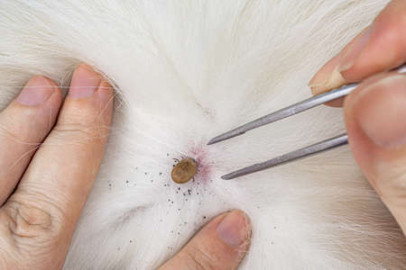 Human hands removing dog tick with silver pliers. Hard dermacentor tick sucked to pet skin. Dangerous insect, carrier of encephalitis, Lyme disease, dog piroplasmosis, babesiosis. Mite on animal fur.