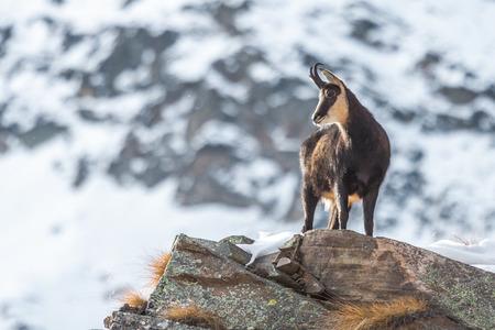 Chamois - Alpes italiennes