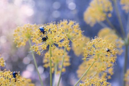 Beetles on handful of yellow flowers
