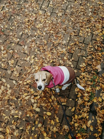 Beagle dog with pink coat taking a walk down the street in autumn