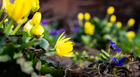 gorgeous yellow primroses on the background of a small bush of delicate violets Banque d'images