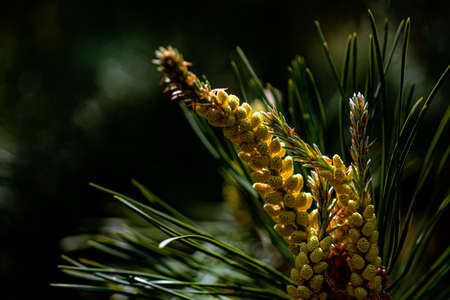 Bright and juicy young shoots of pine on a blurry dark background