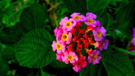 merah: Pink Flower is blowing