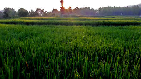 ricefield: Sunrise On Ricefield