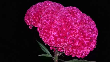 merah: Cokscomb Flower in the Dark Morning
