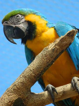 ararauna: Guacamayo azul y amarillo (Ara ararauna) Foto de archivo