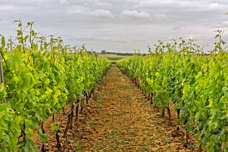 vineyard plain: cultivation vineyard.jpg Stock Photo