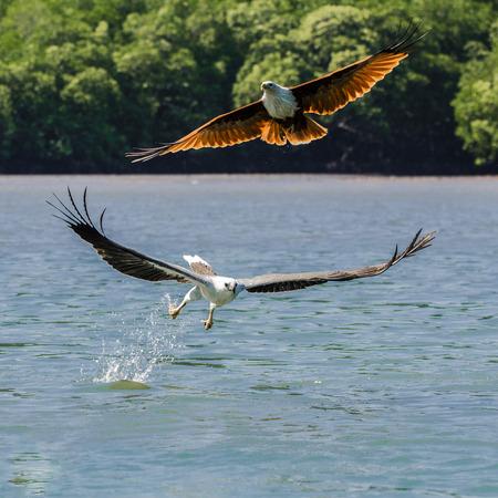 Focus shot de dos águila volando Kilim Geoforest Park ubicado en Langkawi Foto de archivo