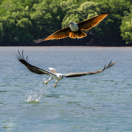 Focus shot of two eagle soaring Kilim Geoforest park located in Langkawi