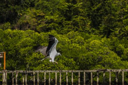 Focus shot of eagle soaring in Kilim Geoforest park located in Langkawi