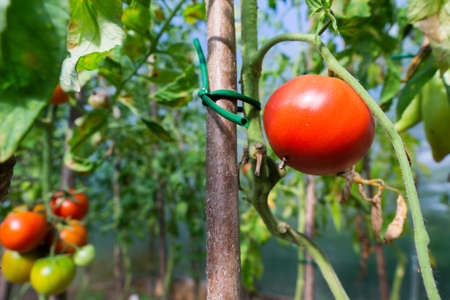 Red ripe tomatoes hanging on a branch in the garden in summer