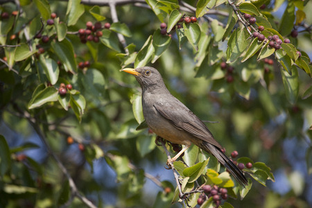 thrush: Olive Thrush sitting in tree