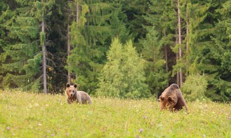 Carpathian european brown bear in his natural wild habitat during the summer, bear with cub