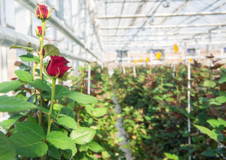 Close-up of a rose on a blurred floral background in a greenhouse Stockfoto