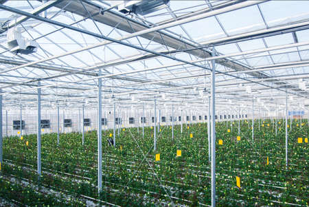 Large industrial greenhouse with Dutch roses