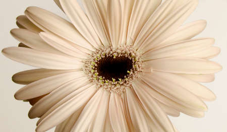 beige chamomile with stamens in the shape of a heart, close-up 版權商用圖片