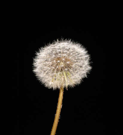fluffy dandelion on black background, isolated