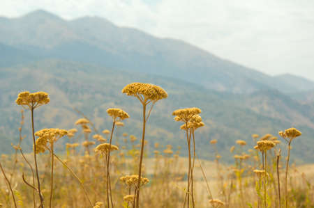 field of yarrow flowers on a background of mountains and sky. Nature of Central Asia Stock Photo