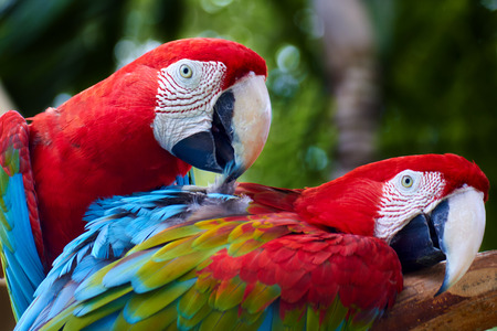covet: Two beautiful colorful parrots cleaning and helping each other Stock Photo