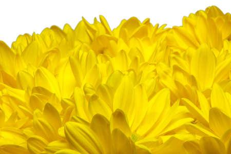 yellow chrysanthemum flowers on white background Stok Fotoğraf