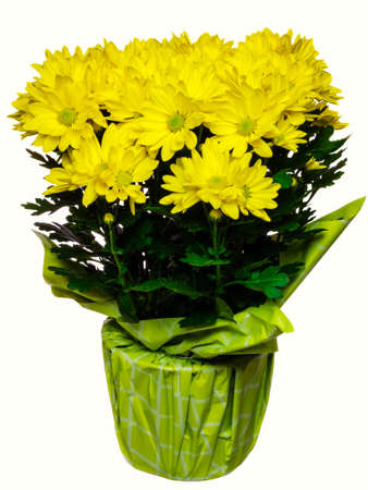 Yellow chrysanthemum flowers, with rain drops isolated on white background