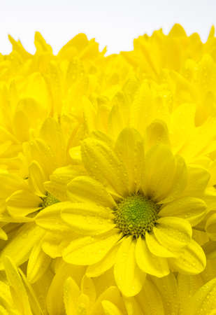 Yellow chrysanthemum flowers, with rain drops on white background photo