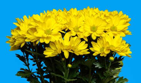 Yellow chrysanthemum flowers, isolated on blue background Stok Fotoğraf
