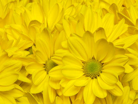 a bed of yellow chrysanthemum flowers