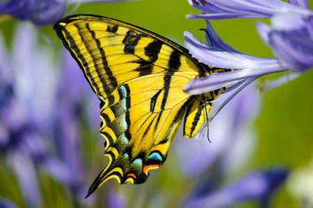Yellow Swallowtail butterfly on a purple lilly garden photo