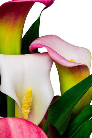 흰색 배경에 고립 분홍색과 흰색 알 카트 라 즈 꽃 칼라 백합 스톡 콘텐츠