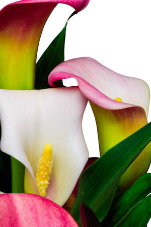 alcatraz: pink and white alcatraz flower  calla lilies  isolated on white background Stock Photo
