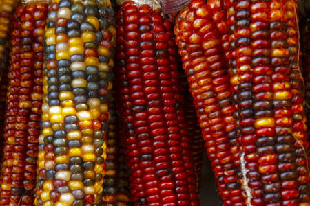 a close-up shot of recently harvested corn in red, yellow and purple colors