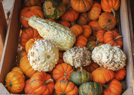 recently: A crate with recently harvested pumpkins in orange, green and white
