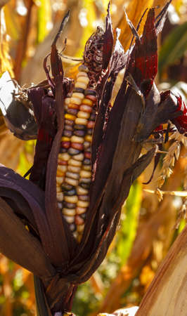 A colorful corn in a plantation ready for harvest