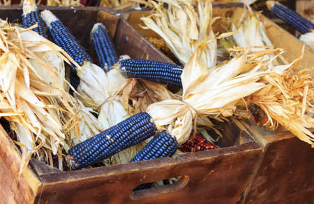 recently: recently harvested purple corn in wood crates