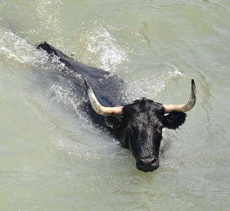 Bull in water
