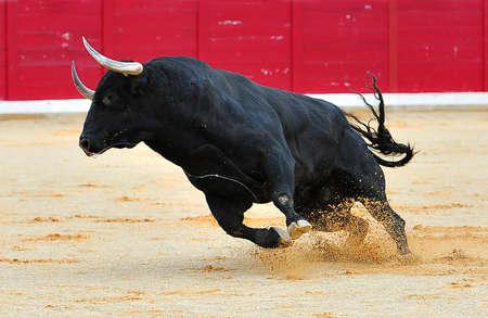 Stier in Spanje