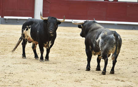 Bulls in bullring