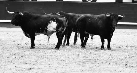 Bulls in spain