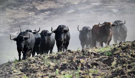bulls in the spanish field