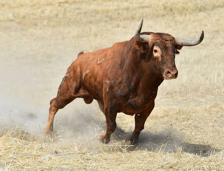 Spanish fighting bull
