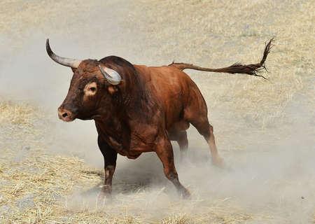 Bull in a bullring, Spain