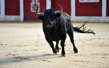 bull running in bullring Reklamní fotografie