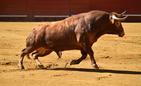 Big bull on traditional spectacle in spain