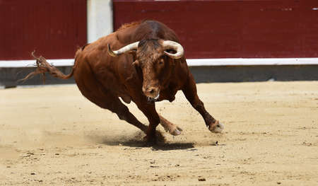 Bull running in bullring