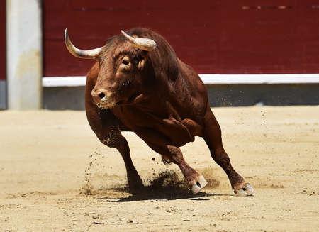 big bull running in spanish bullring