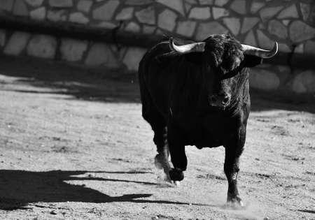 Black bull running in bullring